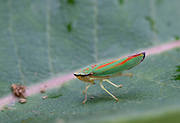 Rhododendron Leafhopper; Graphocephala fennahi<br /> ; on common milkweed leaf;  PA, Philadelphia, Schuylkill Center
