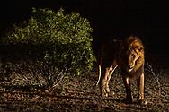Ein m&auml;nnlicher L&ouml;we (Panthera leo) im Schutzgebiet Sabi Sands bei Nacht, S&uuml;dafrika<br /> <br /> A male Lion (Panthera leo) in the private game reserve Sabi Sands at night, South Africa