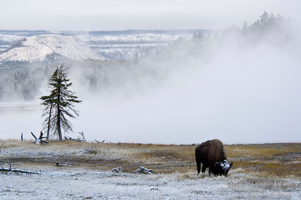 American Bison Buffalo at Firehole Lake after a fall snow storm, Yellowstone National Park, Wyoming