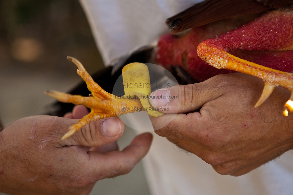 A rooster is trained for cock fighting in Puerto Rico. Close-up of the chickens feet and spurs.