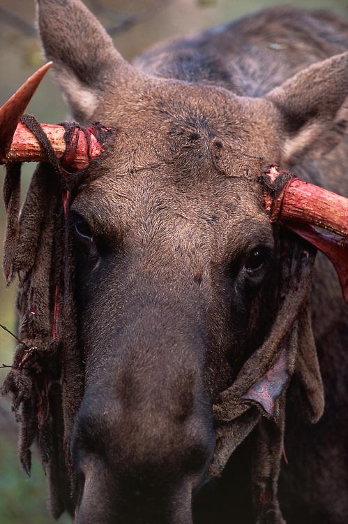 Elk / Moose, Alces alces, Sarek N.P. Sweden