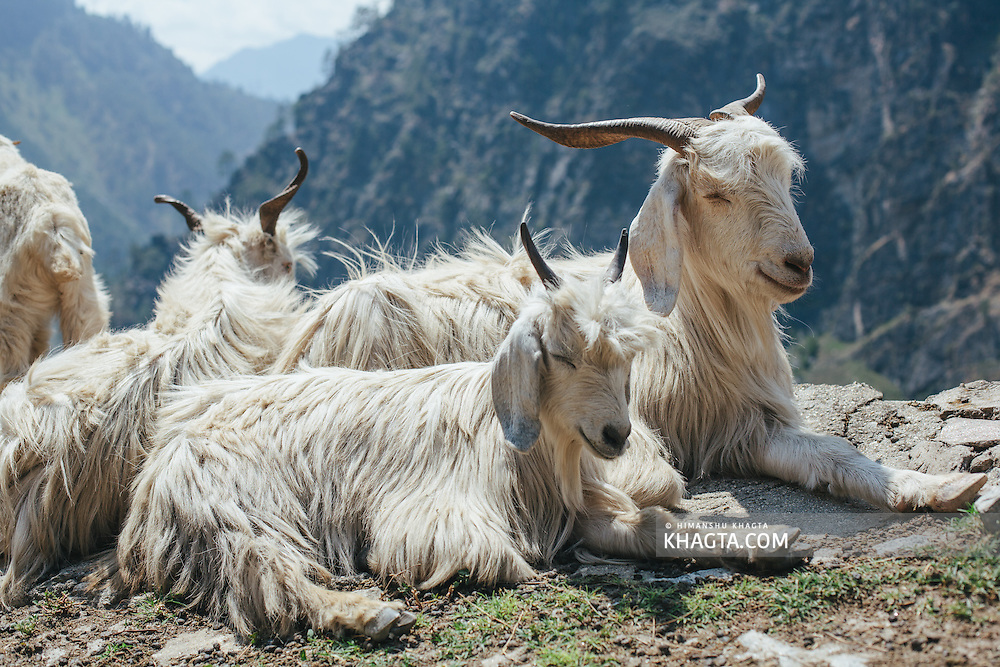 Mountain goats basking in the summer sun near Tranda, on the National Highway 22