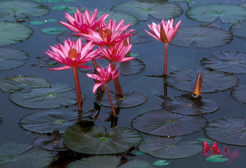 Pink lotus (water lily) blooms rising out of Gulshan Lake, Dhaka, Bangladesh.