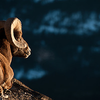 trophy bighorn ram resting on rocks evening warm light