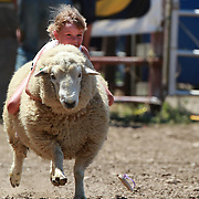 A young girl hangs on to the sheep during the sheep racing for young children at the Millers Flat Rodeo. Otago, New Zealand. 26th December 2011