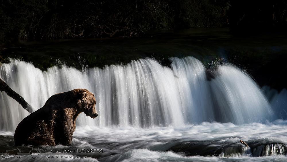Grizzly bear fishing down a waterfall. Katmai National Park, Alaska, USA.