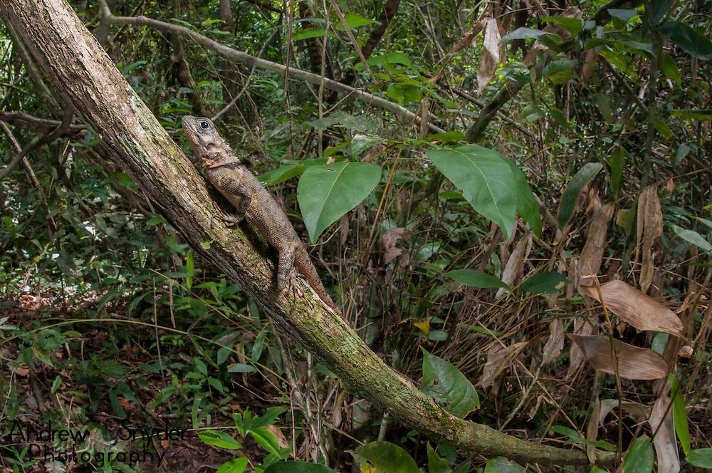 Tree runner (Plica plica). Kanuku Mountains, Guyana.