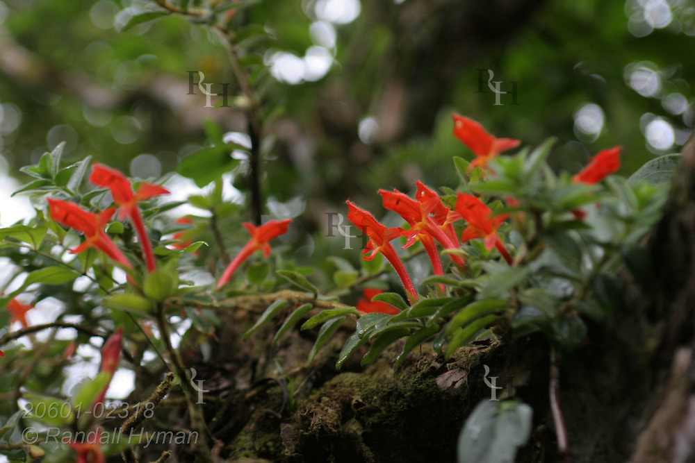 Ericacae flowers; Arenal National Park, Costa Rica.
