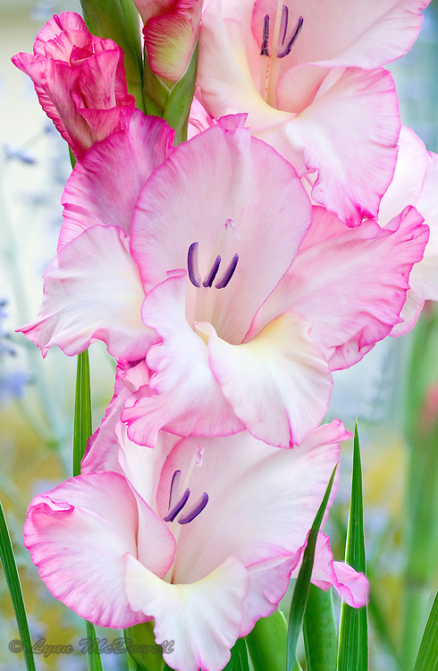 Gladiolus in bloom, this is an extended focal range image compiled from several images to achieve clarity in the flowers