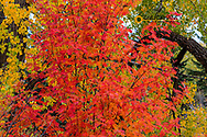Mountain ash tree and cottonwoods in autumn glory in Whitefish, Montana, USA
