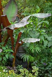 Tropical foliage border at John Massey's garden with gorilla sculpture. Includes Ensete maurelli (Ethiopian black banana), Begonia luxurians (Palm leaf begonia) and variegated pelargonium