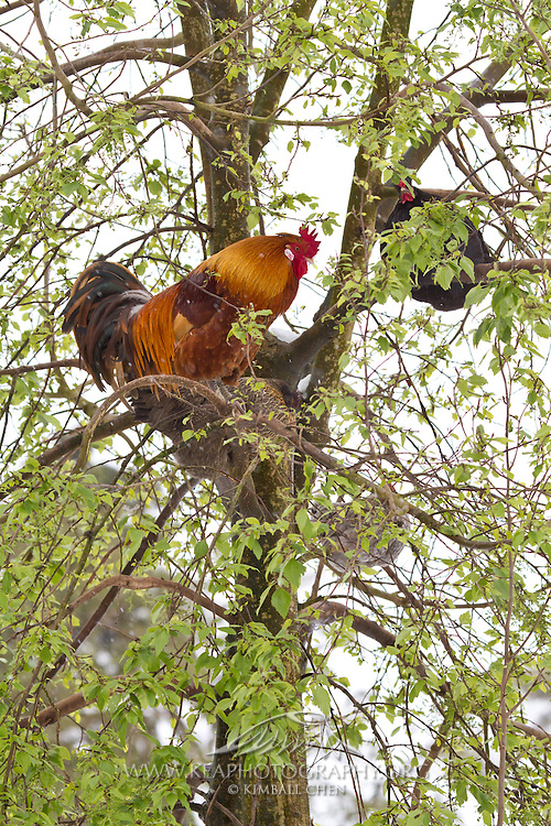 Rooster, in tree, New Zealand