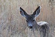 young deer, yearling deer, Doe, Female Deer, Deer doe, doe deer, Mule Deer, Deer, Salmon, Idaho