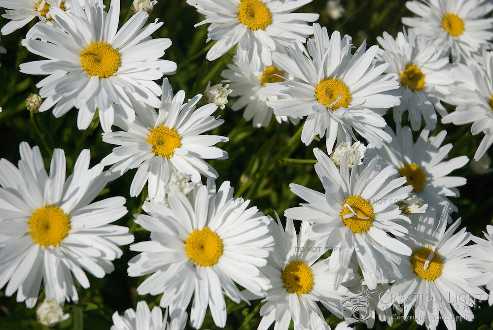 The daisy is a delightfully simple flower with often a white florets attached to a yellow disc floret.  The flowers are often a symbol of summer and innocence.
