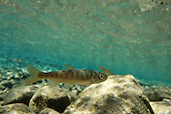 Coho Salmon (juvenile)<br />