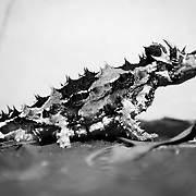 Thorny Devil Lizard at Alice Springs Desert Park, Northern Territory, Australia, Oceania