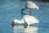 African Spoonbill feeding in shallow water, De Hoop Nature Reserve, Western Cape, South Africa