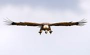 Ruppell's griffon vulture (Gyps ruppellii) at inflight in Maasai Mara, Kenya.