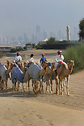 Riders take camels to an early morning training workout for camels at the racetrack in Dubai, United Arab Emirates. Mosque tower and skyline in the background.