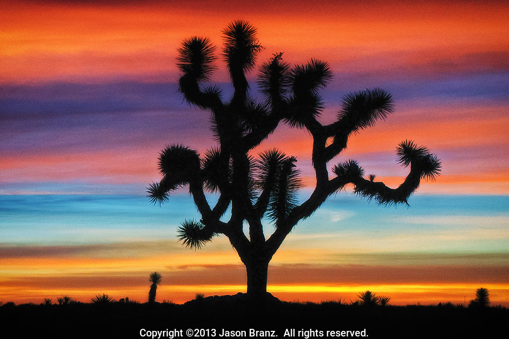 Joshua tree silhouette and sunrise light on high clouds at dawn, Joshua Tree National Park, California.