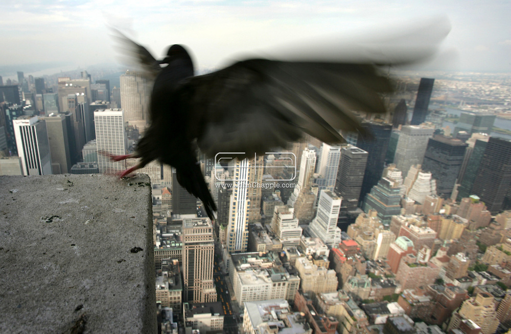 """15th November 2007, Beware tourists to New York City, a proposed ban on feeding the city's pigeons could carry a US$1000 fine. City Councilman want to introduce legislation to ban pigeon feeding and fine those caught flouting the ban. """"If people like pigeons, take them into their homes, feed pigeons in your house and let them crap all over the place in your living rooms."""" said City Councilman Simcha Felder, who is heading the ban. In London, Mayor Ken Livingstone has banned pigeon feeding in Trafalgar Square, closed down the official feed vendors there, and has sent hawks to infiltrate and scare the lingering pigeons. An attempt to use hawks in Manhattan's Bryant Park a few years ago was scrapped after a hawk attacked a pet Chihuahua. Pictured is a Pigeon on top of New York's Empire State Building..© JOHN CHAPPLE / REBEL IMAGES"""