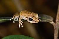 "The tiny coquí (ko-kee) frog ""eleutherodactylus coqui"" is unique to the island of Puerto Rico and serenades de tropical nights with its distinctive chime."