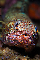 """The """"sharp end"""" of a reef lizardfish (Synodus variegatus) showing its many teeth. Their camouflage allows these these ambush predators feed largely on fish that they capture as they swim by."""
