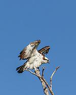 Osprey settling in top of tree, blue sky background, © 2015 David A. Ponton