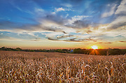 USA, Nebraska, near Omaha. A cornfield at sunset.