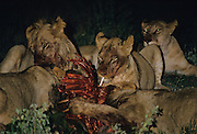 A pride of lions feeding on a female waterbuck at night. Sabie Sands Game Reserve, Mpumalanga, South Africa