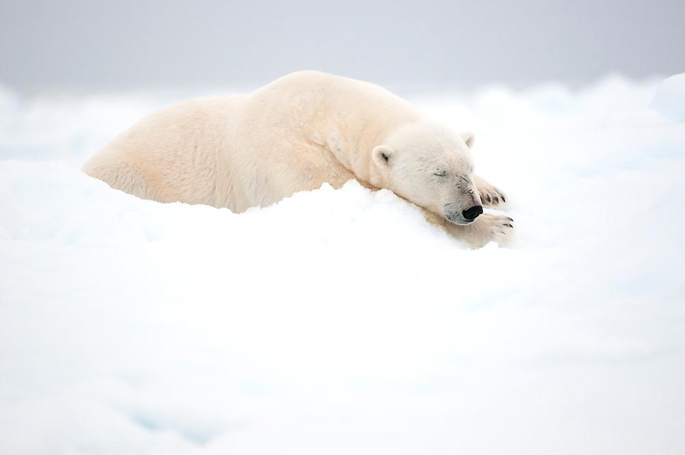 Polar bear (Ursus maritimus) sleeping on the sea ice