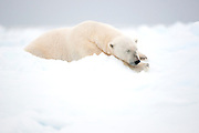 Polar bear (Ursus maritimus) sleeping on the sea ice