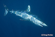 shortfin mako shark, Isurus oxyrhinchus, female with mating scars on flank and copepod parasites on flank and tail, King Bank, North Island, New Zealand ( South Pacific Ocean )
