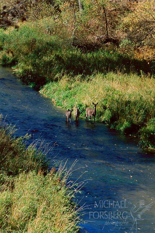 Three white-tailed deer wade down a stream in the Nebraska Sandhills.