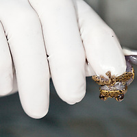 Swabbing a Plectrohyla matudai for the amphibian chytrid fungus