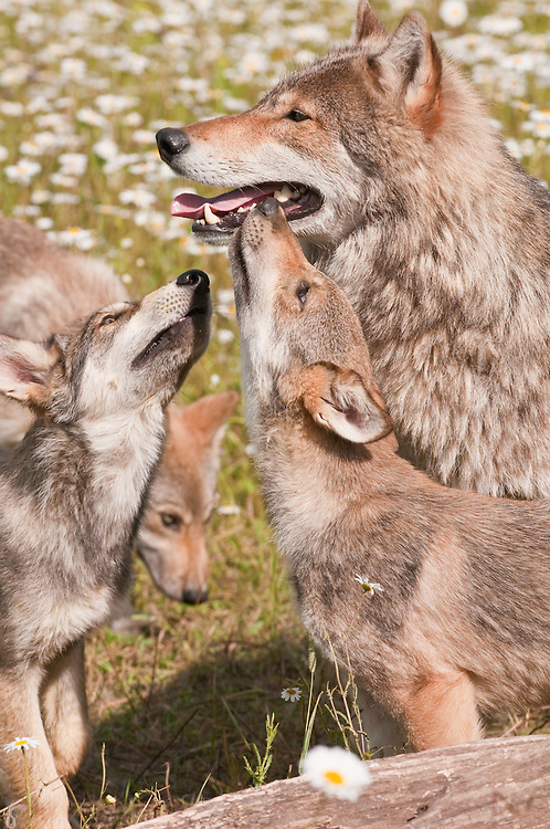 Gray wolf, Canis lupus, adult and juveniles
