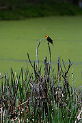The profile of the Orange headed Blackbird against a lighter green of a algae covered pond