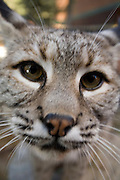 Detail of the face of a bobcat (Lynx rufus). Captive.