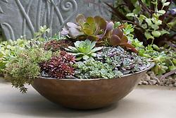 Sempervivum - houseleeks - in a shallow coppper container
