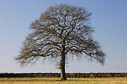 Oak tree, The Cotswolds, Oxfordshire, United Kingdom
