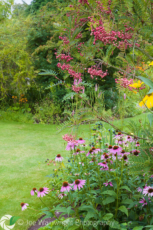 The colour of Rowan berries complements the pink echinacea, at Bluebell Cottage Gardens, Dutton, Cheshire - photographed in August.