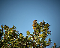 Female or immature Red Crossbill in a pine tree. Rocky Mountain National Park. Image taken with a Nikon D2xs camera and 70-200 mm f/2.8 lens and TC-E 1.4 teleconverter (ISO 100, 280 mm, f/11, 1/250 sec).