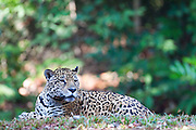Parauapebas_PA, Brasil...Floresta Nacional de Carajas em Parauapebas, Para. Na foto Onca-Pintada (Panthera onca)...The Carajas National Forest, Para. In this photo a jaguar (Panthera onca)...IMAGENS: JOAO MARCOS ROSA / NITRO..