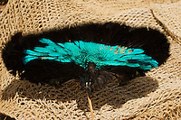 Detail of Superb Bird of Paradise prepared for a headdress..Mount Hagen, Western Highlands Province, Papua New Guinea.