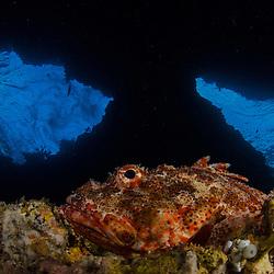 Northern Scorpionfish, Scorpaena cardinalis, Red Baron Caves, Poor Knights Islands