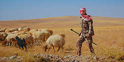 A bedouin herds his sheep in the Jordanian countryside