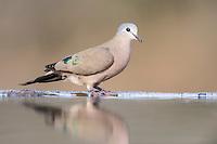 Emerald-Spotted Wood-Dove landing next to water, Zimanga Game Reserve, KwaZulu Natal, South Africa