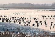 Canada Geese, Branta canadensis, Shiawassee NWR, Saginaw County, Michigan