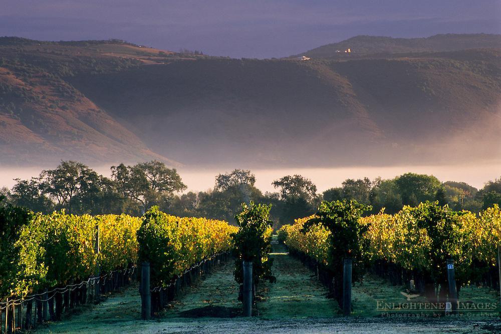 Hills and morning fog at sunrise over vineyards near Oakville, Napa Valley, Napa County, California
