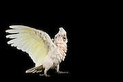 [captive] Goffin's cockatoo (Cacatua goffiniana) makes itself look bigger. Goffin's cockatoos or Tanimbar Corellas are endemic to the Tanimbar archipelago in Indonesia. Research on their cognitive abilities is done in the Goffin Lab (Lower Austria) by Dr. Alice M. I. Auersperg. | Der Goffinkakadu (Cacatua goffiniana) macht sich groß. Der Goffinkakadu ist eine Papageienart und kommt in freier Wildbahn ausschließlich auf der indonesischen Inselgruppe Tanimbar vor. Forschung zu kognitiven Fähigkeiten des Goffinkakadus wird im Goffin Lab (Niederösterreich) von Dr. Alice M. I. Auersperg durchgeführt.